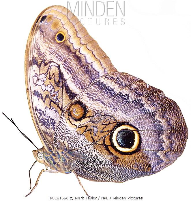 Cut-out of Owl butterfly (Caligo sp) Costa Rica Digital composite  -  Mark Taylor/ npl