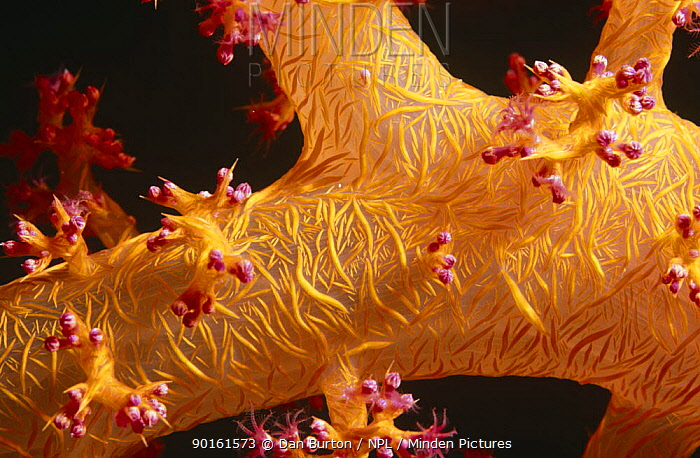 Close up of Soft coral (Dendronephthya sp) Red Sea  -  Dan Burton/ npl
