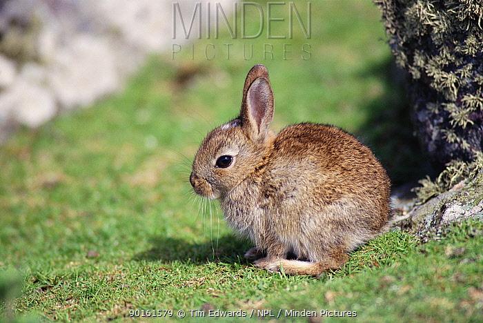 Young European rabbit (Oryctolagus cuniculus) Skomer Is, Pembrokeshire NP, Wales, UK  -  Tim Edwards/ npl