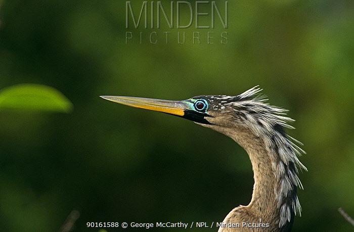 American darter (Anhinga anhinga) Everglades NP, Florida, USA  -  George Mccarthy/ npl