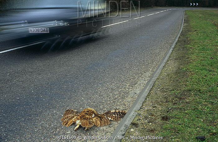 Tawny owl (Strix aluco) roadkill, UK  -  William Osborn/ npl