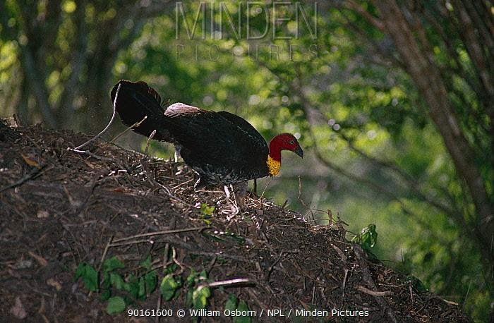 Australian brush turkey (Alectura lathami) attending its nest mound, SE Queensland, Australia  -  William Osborn/ npl
