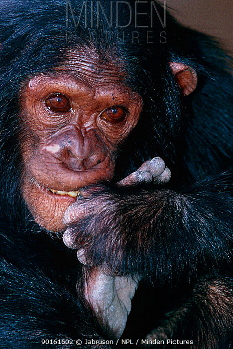 Chimpanzee (Pan troglodytes schweinfurthii) confiscated captive chimp, Rwindi, Virunga NP, Dem Rep of Congo  -  Jabruson/ npl