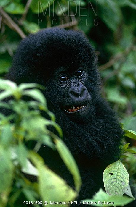 Mountain gorilla (Gorilla gorilla beringei) juvenile in rainforest, Virunga NP, Dem Rep Congo  -  Jabruson/ npl