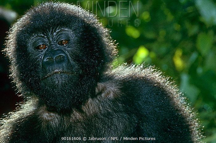 Mountain gorilla (Gorilla gorilla beringei) juvenile, Virunga NP, Dem Rep Congo  -  Jabruson/ npl