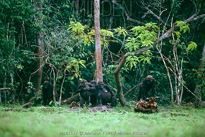 Western lowland gorilla (Gorilla gorilla gorilla)Silverback and group members scan Lokoue bai for safety before entry, Odzala NP, Congo Rep  -  Jabruson/ npl