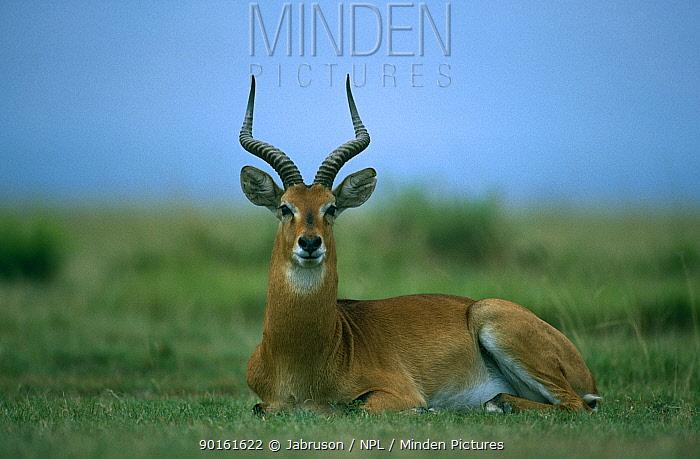 Uganda kob (Kobus kob thamasi) male resting, Virunga NP, Dem Rep Congo  -  Jabruson/ npl