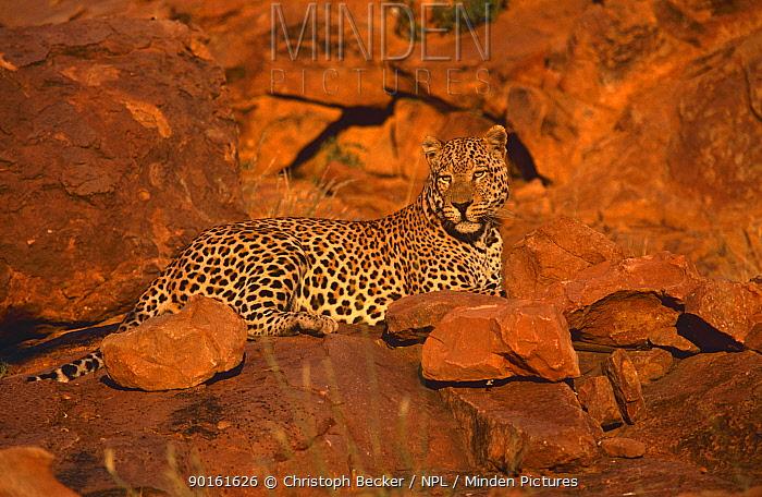 Leopard (Panthera pardus) Okonjima, Namibia  -  Christoph Becker/ npl