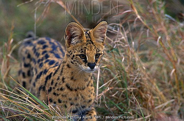 Serval (Felis serval) Masai Mara GR, Kenya  -  Lisa Asch/ npl