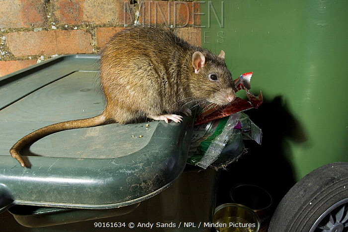 Brown Rat ( Rattus norvegicus ) on dustbin looking for food, captive, UK  -  Andy Sands/ npl