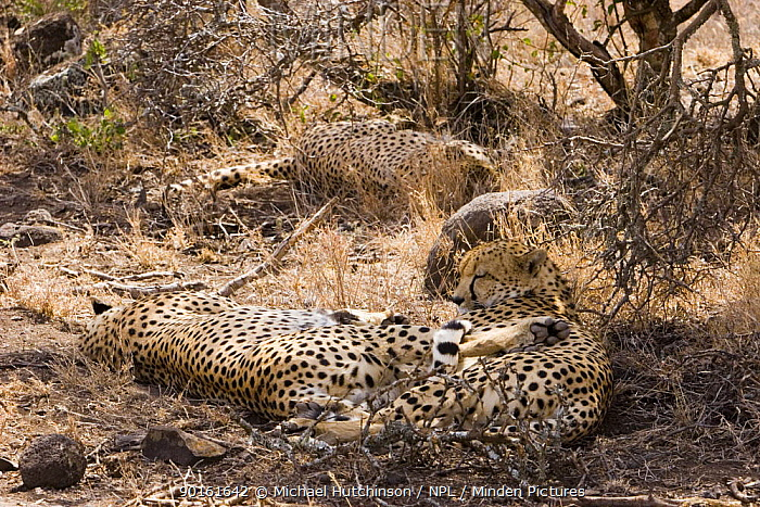 Cheetah (Acinonyx jubatus), three brothers resting in shade, camouflage, Kenya  -  Michael Hutchinson/ npl