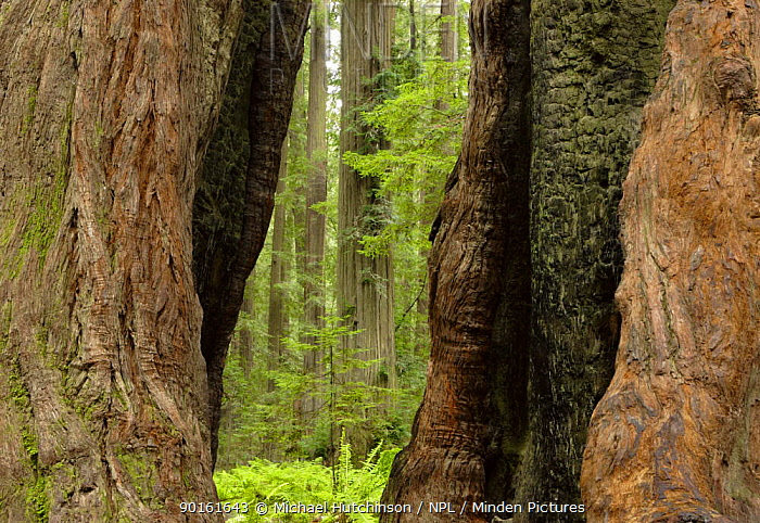 Gap in trunk created by fire in Coastal Giant redwood tree (Sequoia sempervirens) Humboldt Redwoods State Park, California, USA  -  Michael Hutchinson/ npl