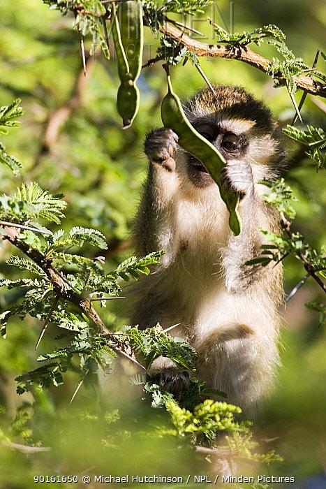 Juvenile Vervet monkey (Cercopithecus aethiops)examining Acacia seed pods, Kenya  -  Michael Hutchinson/ npl