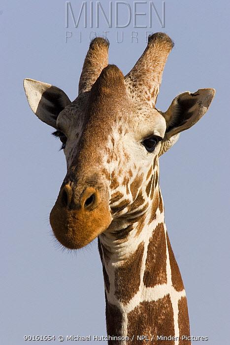 Reticulated Giraffe, (Giraffa camelopardalis reticulata) head portrait, Lewa Downs, Kenya  -  Michael Hutchinson/ npl