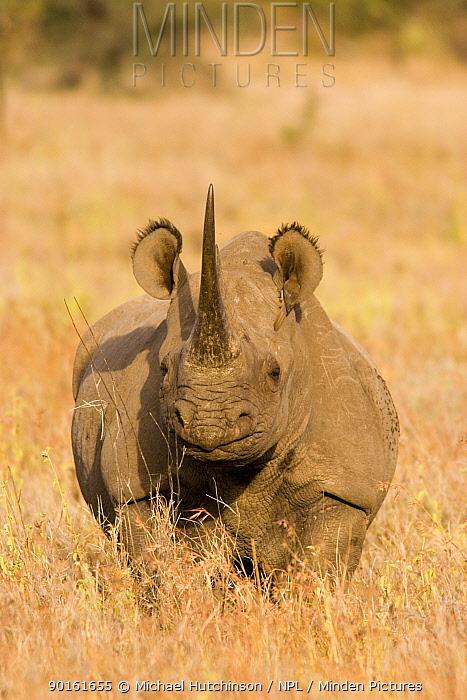 Black Rhinoceros (Diceros bicornis) with oxpecker foraging in ear, Kenya  -  Michael Hutchinson/ npl