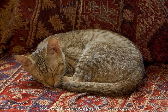 Ocicat kitten (Felis catus) sleeping  -  Shattil & Rozinski/ npl