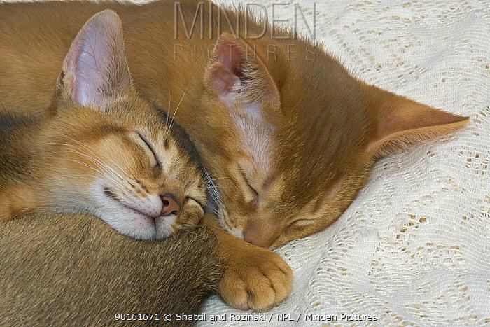 Abyssinian kittens (Felis catus) sleeping  -  Shattil & Rozinski/ npl