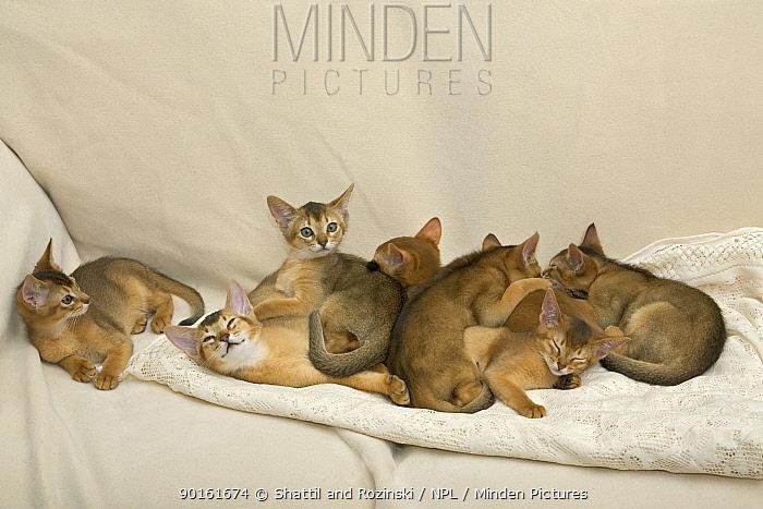 Group of Abyssinian kittens, sleeping on sofa  -  Shattil & Rozinski/ npl