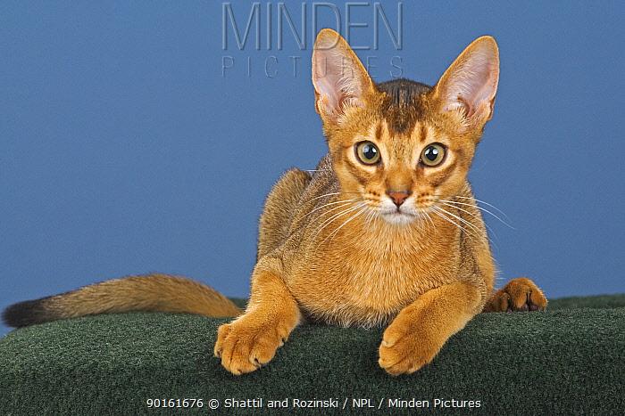 Abyssinian kitten (Felis catus) portrait  -  Shattil & Rozinski/ npl