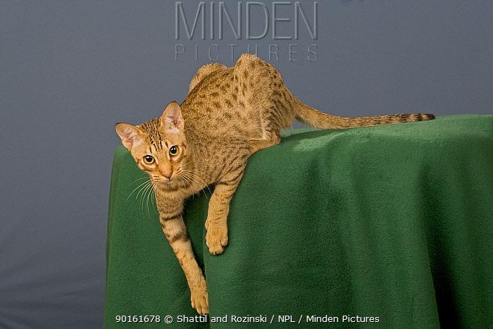 Ocicat (Felis catus)  -  Shattil & Rozinski/ npl
