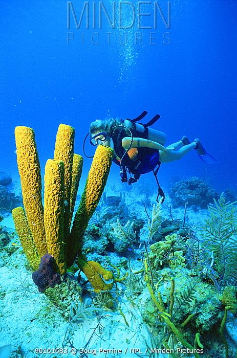 Diver and Yellow tube sponge (Aplysina fistularis) Virgin Islands, Caribbean  -  Doug Perrine/ npl