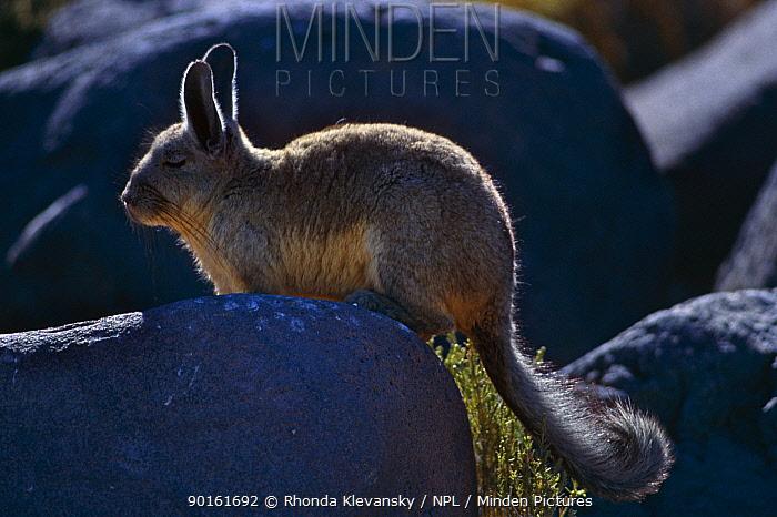 Common mountain viscacha (Lagidium viscacia) Inkawasi Is Salar de Uyuni, Bolivia  -  Rhonda Klevansky/ npl