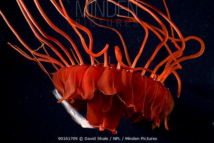 Deepsea medusa jellyfish (Atolla manubrium) with caught fish prey, Gulf of Maine, Atlantic  -  David Shale/ npl