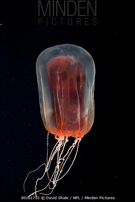 Deepsea Anthomedusa (Pandea rubra) Gulf of Maine, Atlantic  -  David Shale/ npl