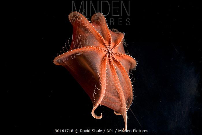 Deepsea cirrate octopod (Sauroteuthis syrtensis) 830m, Gulf of Maine, Atlantic  -  David Shale/ npl