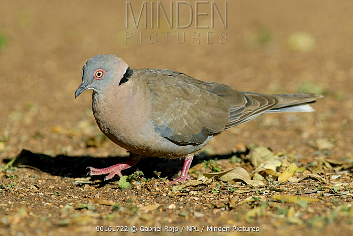 Red eyed dove (Streptopelia semitorquata) Kruger NP, South Africa  -  Gabriel Rojo/ npl