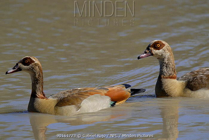 Egyptian goose (Alopochen aegyptiaca) Kruger National Park, South africa  -  Gabriel Rojo/ npl