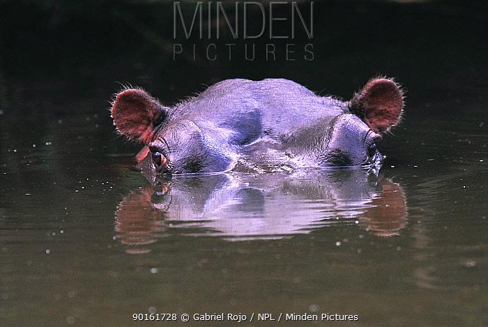 Hippotamus (Hippotamus amphibius) submerged in waterhole, Kruger NP, South Africa  -  Gabriel Rojo/ npl