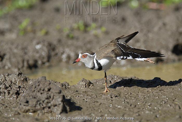 Three banded sand plover (Charadrius tricollaris) Santa Lucia estuary, Greater St Lucia Wetland Park, KwaZulu-Natal, South Africa  -  Gabriel Rojo/ npl
