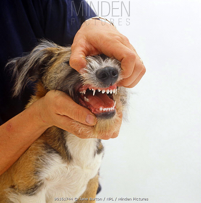 Person holding mouth open to show teeth of Patterdale x Jack Russell Terrier pup, 18 weeks old, losing deciduous teeth and growing adult incisors  -  Jane Burton/ npl
