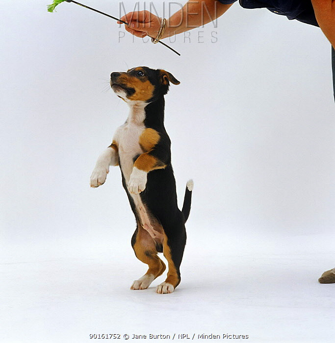 Jack Russell Terrier x Collie puppy standing on hind legs playing with a toy  -  Jane Burton/ npl