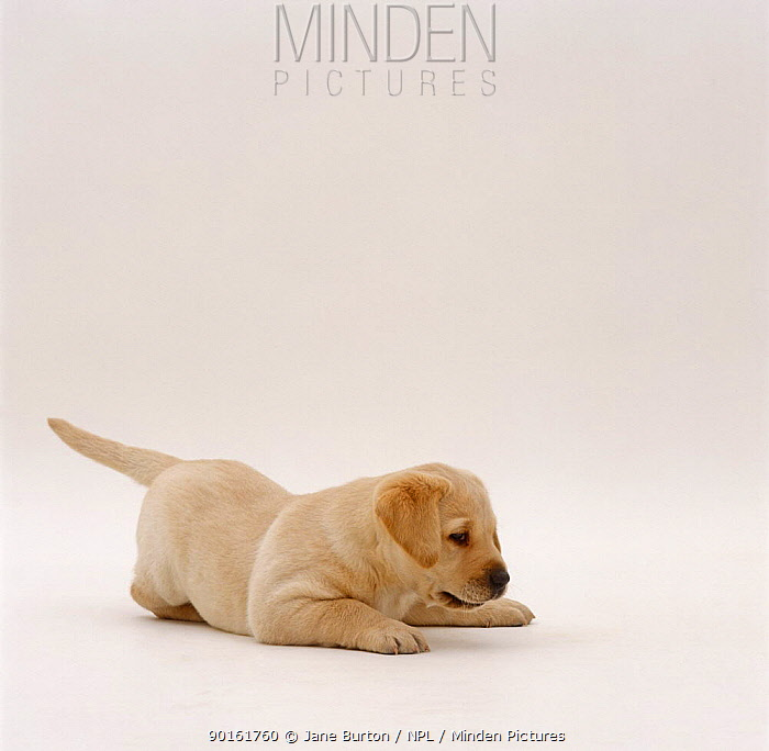 Yellow Labrador Retriever pup pouncing, 6 weeks old  -  Jane Burton/ npl
