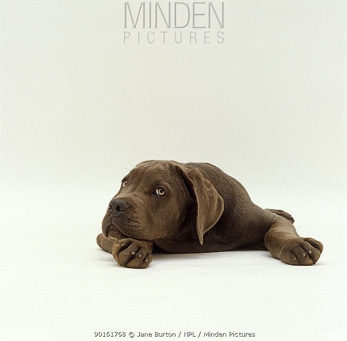 Blue Italian Mastiff dog pup, 12 weeks old, resting his head on his paw  -  Jane Burton/ npl