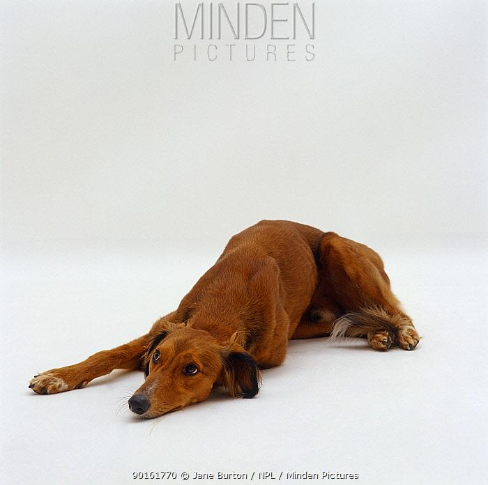 Saluki Lurcher lying down  -  Jane Burton/ npl