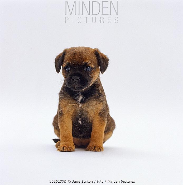 Border terrier pup, 5 weeks old, sitting portrait  -  Jane Burton/ npl