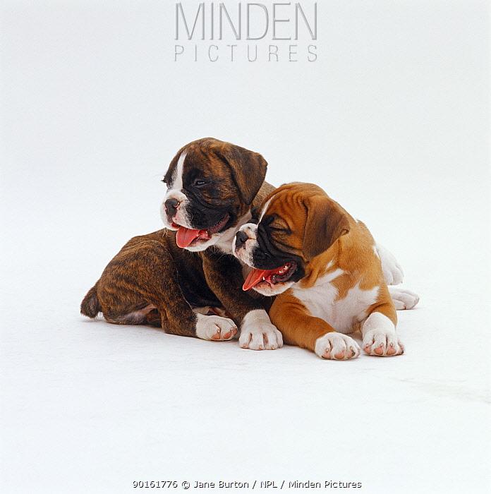 Red Boxer pup, 8 weeks old, with his brindle half brother, 7 weeks old, lying down and panting  -  Jane Burton/ npl
