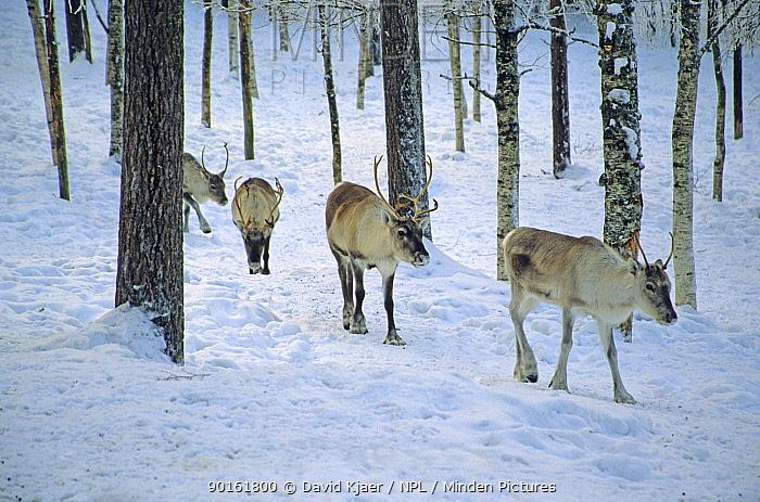 Reindeer (Rangifer tarandus) walking through snow in woodland, Finland  -  David Kjaer/ npl