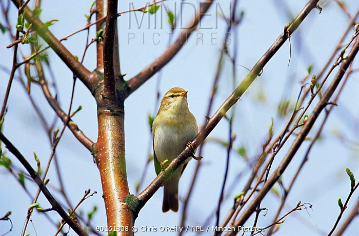 Willow warbler (Phylloscopus trochilus) Derbyshire, UK  -  Chris O'Reilly/ npl
