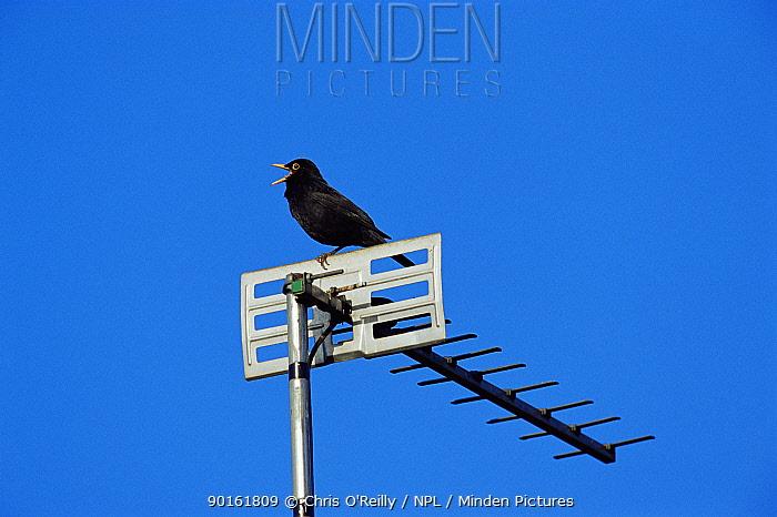 Blackbird (Turdus merula) singing perched on television aerial, Derbyshire, UK  -  Chris O'Reilly/ npl