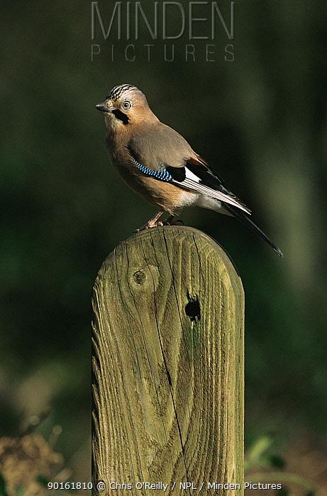 Jay perched (Garrulus glandarius) Derbyshire, UK  -  Chris O'Reilly/ npl