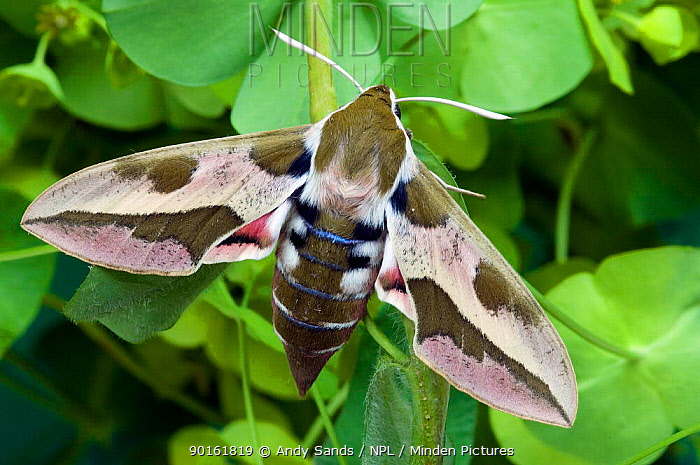 Spurge Hawkmoth (Hyles euphorbiae) on Spurge with wings open, captive, UK  -  Andy Sands/ npl