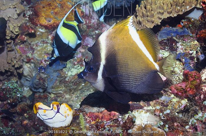 Horned bannerfish (Heniochus varius) Lembeh Strait, North Sulawesi, Indonesia  -  Georgette Douwma/ npl
