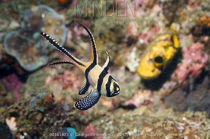 Banggai cardinalfish (Pterapogon kauderni) Lembeh Strait, North Sulawesi, Indonesia  -  Georgette Douwma/ npl