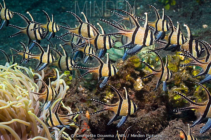 Banggai cardinalfish (Pterapogon kauderni) with Anemone, Lembeh Strait, North Sulawesi, Indonesia  -  Georgette Douwma/ npl