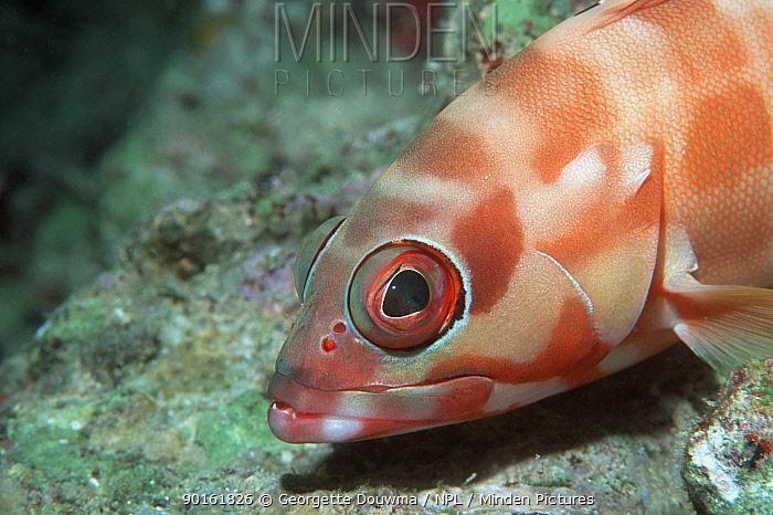 Blacktip grouper (Epinephelus fasciatus) head profile, Bunaken National Park, North Sulawesi, Indonesia  -  Georgette Douwma/ npl