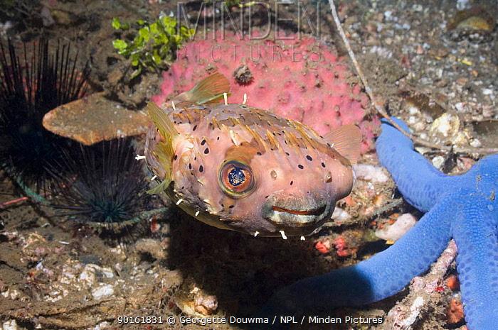 Black-spotted porcupinefish (Arothron hystrix) Lembeh Strait, North Sulawesi, Indonesia  -  Georgette Douwma/ npl